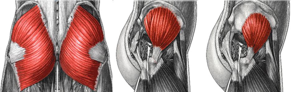Anatomy Basics Your Gluteus Minimus Sustainable Exercise